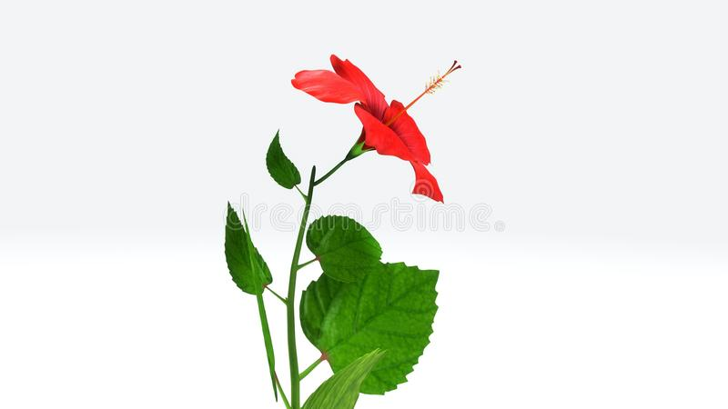 Hibiscus stock illustration