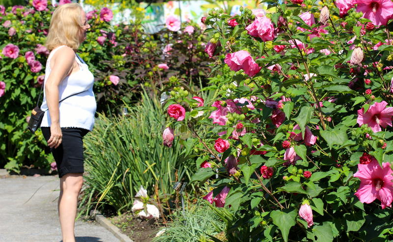 Hibiscus gigante imagem de stock royalty free