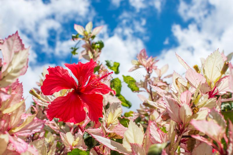 Hibiscus havaiano vermelho bonito na flor completa fotografia de stock