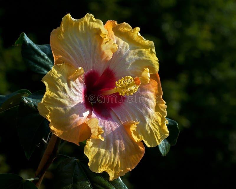 Hibiscus ` Hawaii-Brandung ` lizenzfreie stockfotografie