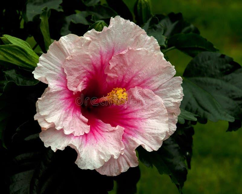Hibiscus Hawaiirose Rosa Adonicus στοκ φωτογραφίες