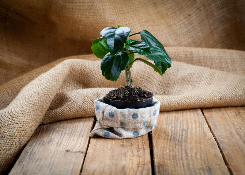 Download Hibiscus Houseplant In Paper Packaging Stock Photo - Image: 83720024