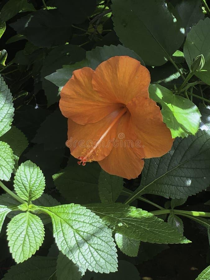 Hibiscus inteiramente florescido fotos de stock royalty free