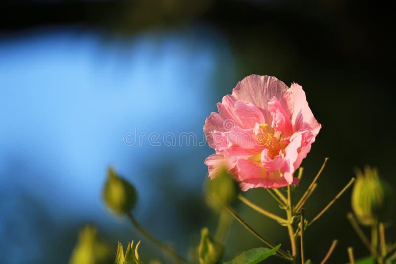 Hibiscus ist in voller Blüte im Park stockbilder