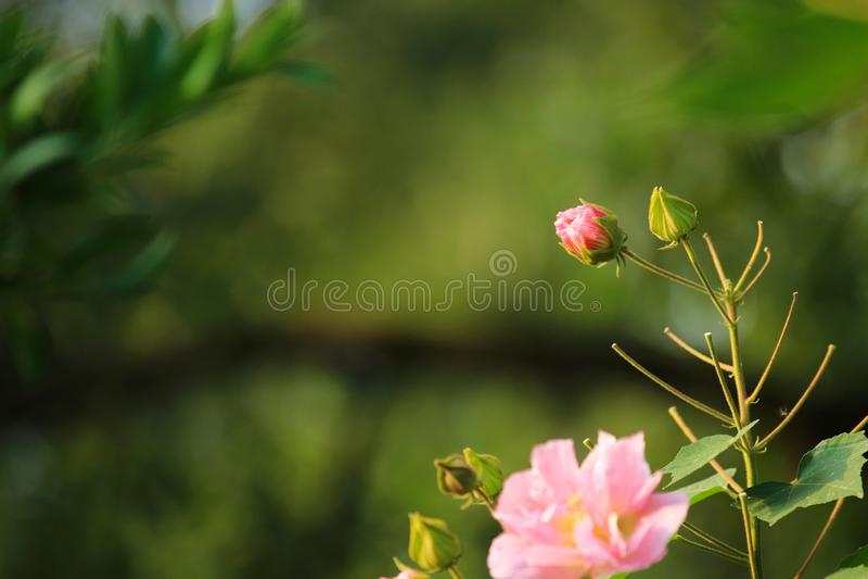 Hibiscus ist in voller Blüte im Park lizenzfreies stockbild