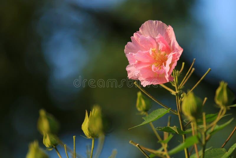 Hibiscus ist in voller Blüte im Park stockbild