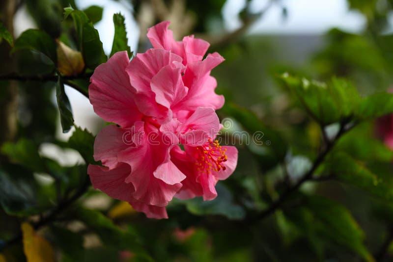 Hibiscus Kona stockfotos
