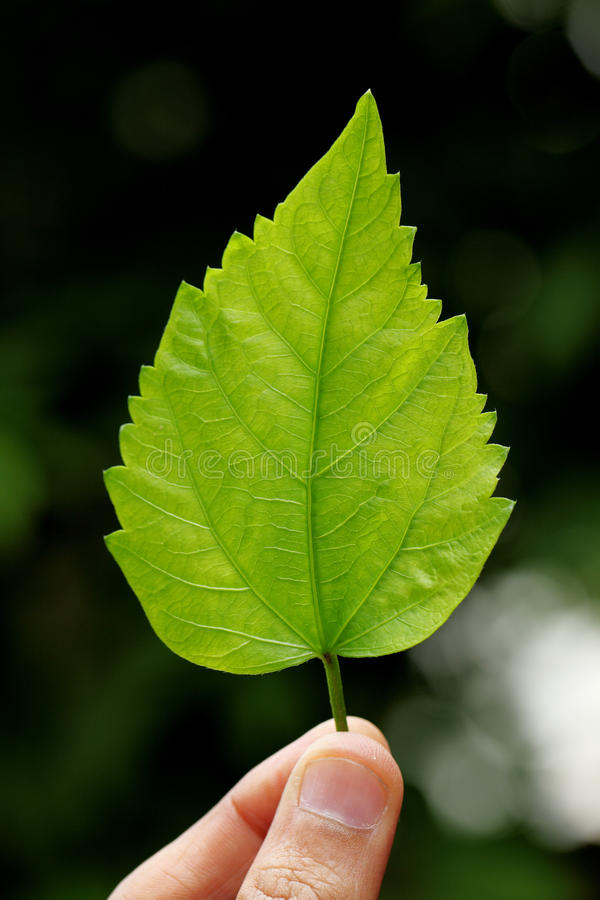 Hibiscus leaf. Young hand holding a green hibiscus leaf royalty free stock photo