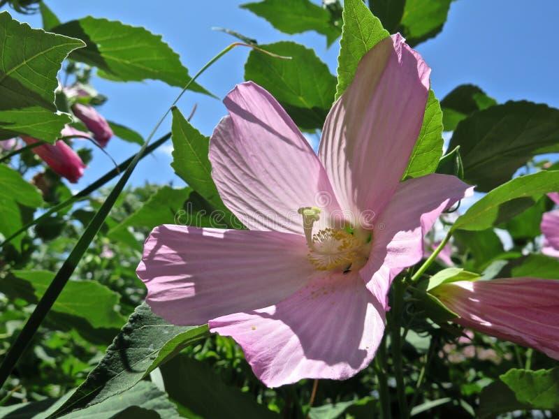 Hibiscus mit Rosa gefalteter Blüte stockfotos