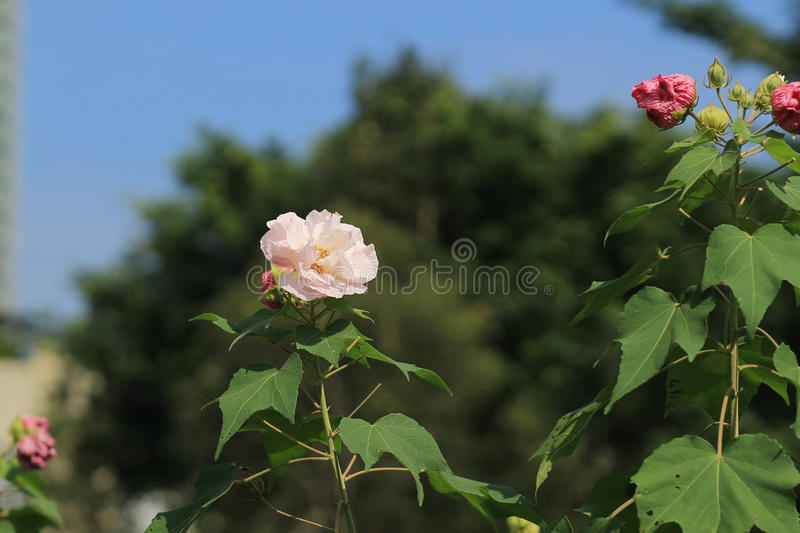 Hibiscus mutabilis or Confederate rose stock photography