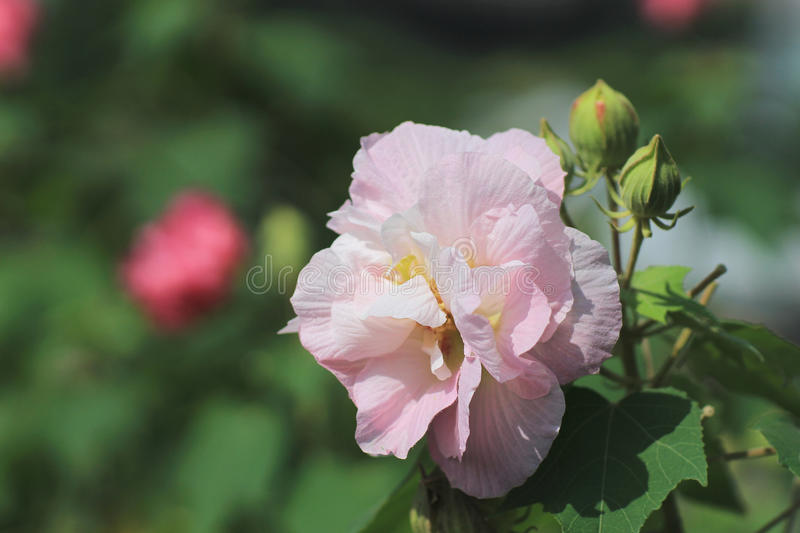 Hibiscus mutabilis or Confederate rose royalty free stock photo