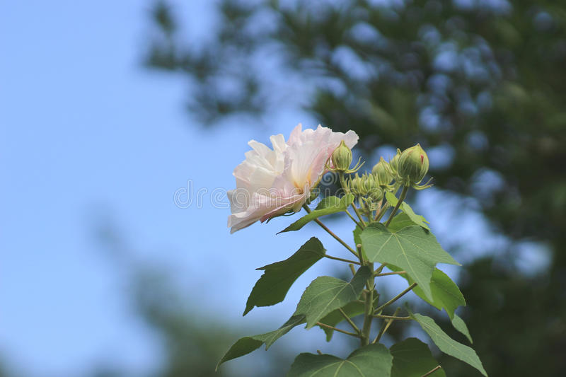 Hibiscus mutabilis or Confederate rose stock image