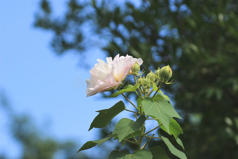 Hibiscus mutabilis or Confederate rose stock photo