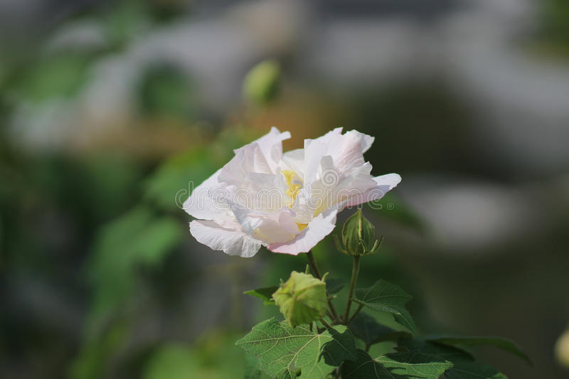 Hibiscus mutabilis or Confederate rose stock photos
