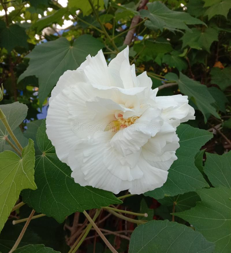 Hibiscus mutabilis plant, auspicious Thai medicinal properties that should be planted Is a plant that flowers can change color up. To 3 colors within 1 day. The stock photography