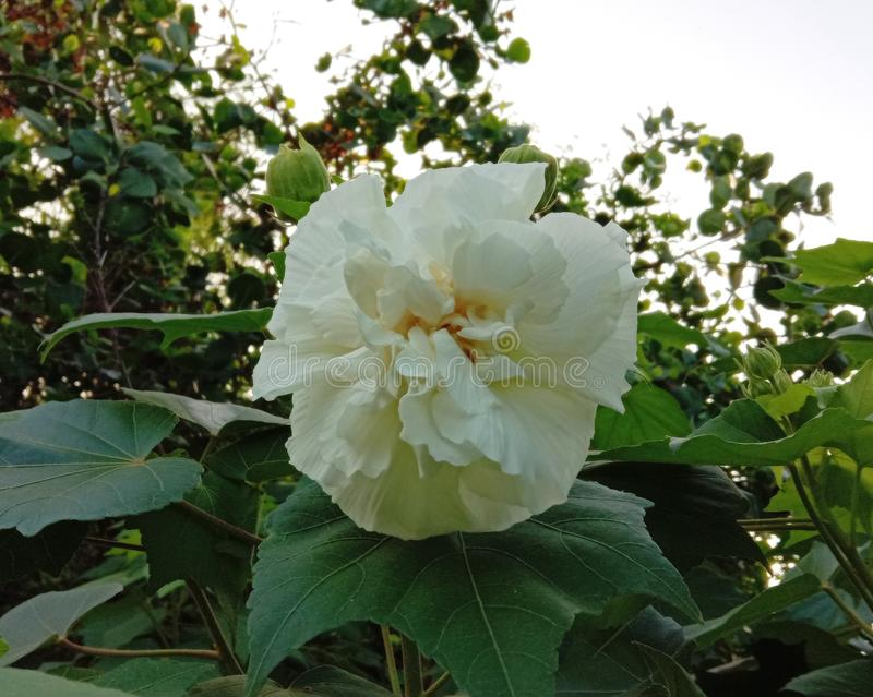 Hibiscus mutabilis plant, auspicious Thai medicinal properties that should be planted Is a plant that flowers can change color up. To 3 colors within 1 day. The stock images
