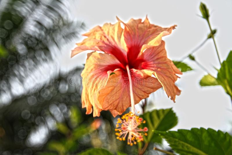 Flower White Gardens Plant Tropical royalty free stock photography