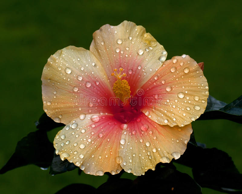 Hibiscus New Apollo. Hibiscus is a national flower of Malaysia royalty free stock photos