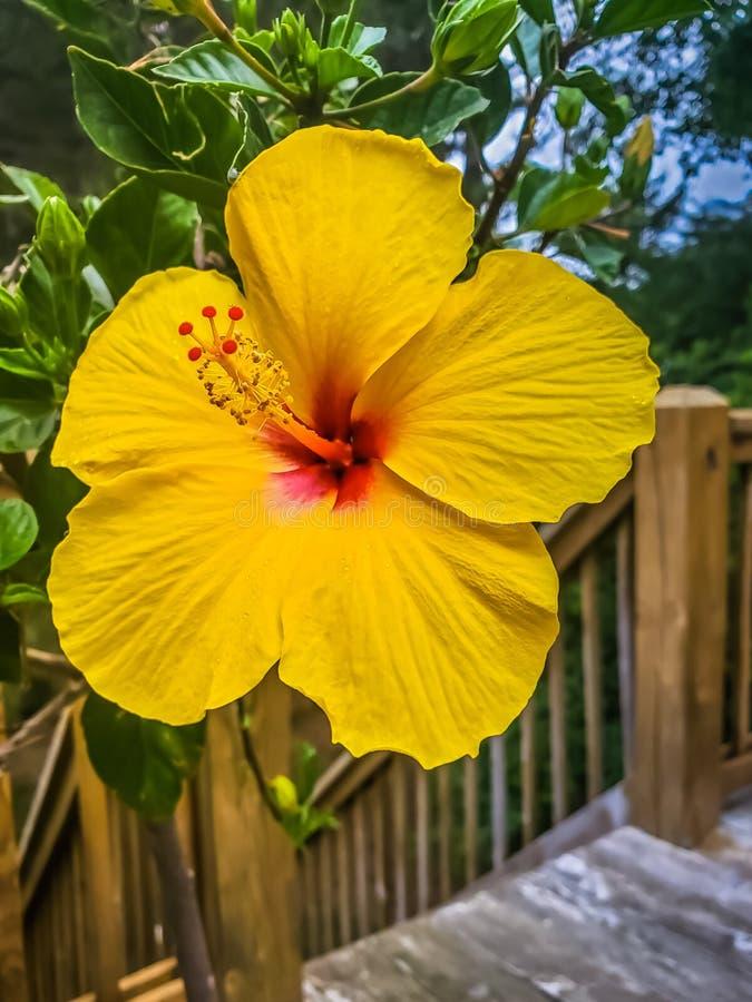 Hibiscus no trajeto de madeira a encalhar fotografia de stock royalty free