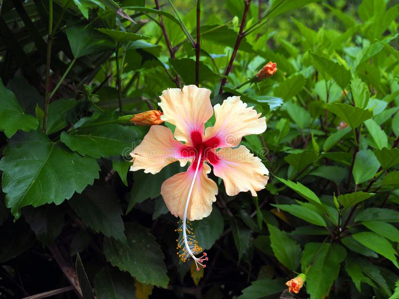 Wild Hibiscus plant with blooming pink and orange flowers in tropical Suriname South-America royalty free stock image