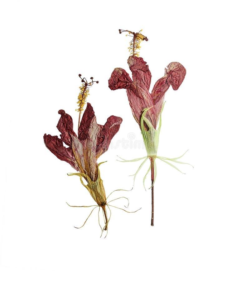 Hibiscus pressionado e secado da flor isolado no branco imagens de stock