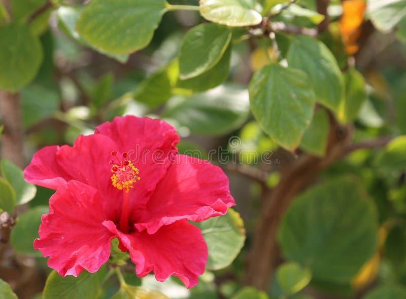 Hibiscus rode bloem die in tuin bloeit royalty-vrije stock afbeeldingen