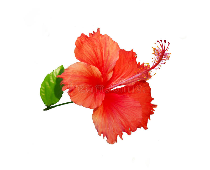 hibiscus Rosa στοκ φωτογραφία με δικαίωμα ελεύθερης χρήσης