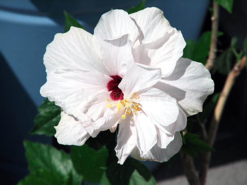 Hibiscus rosa chinensis stock photography