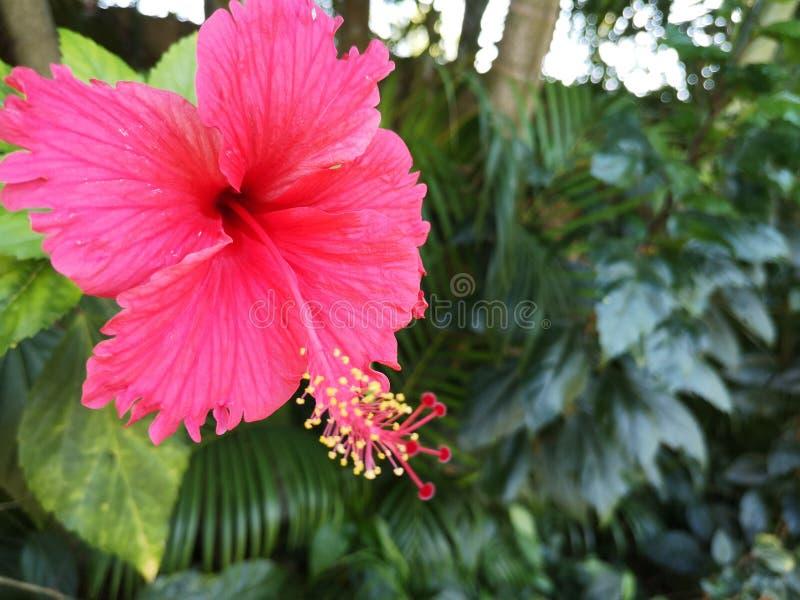 Hibiscus rosa -rosa-sinensis†‹plant†‹tropical†‹flower†‹ stock afbeelding