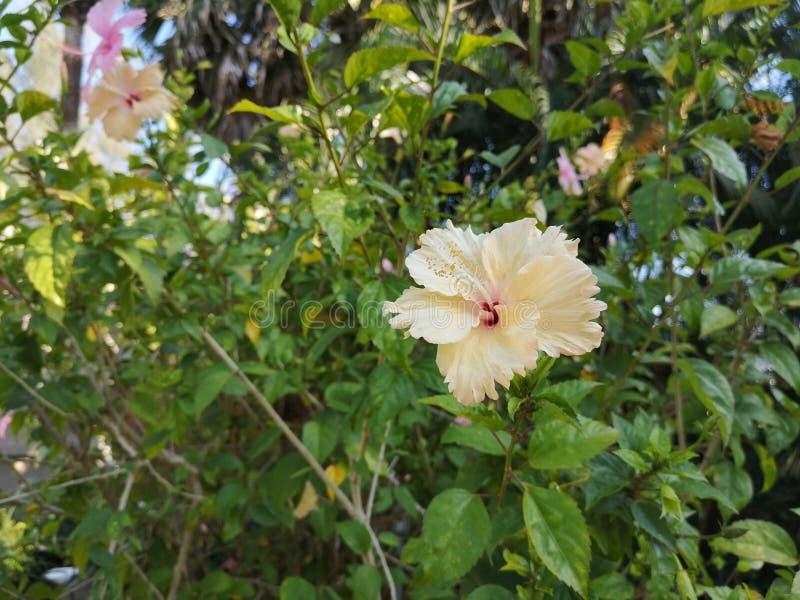 Hibiscus rosa -rosa-sinensis†‹plant†‹tropical†‹flower†‹ stock foto's
