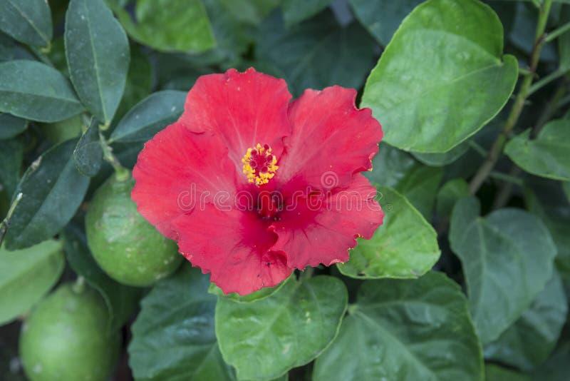 Hibiscus rosa-sinensis stock fotografie