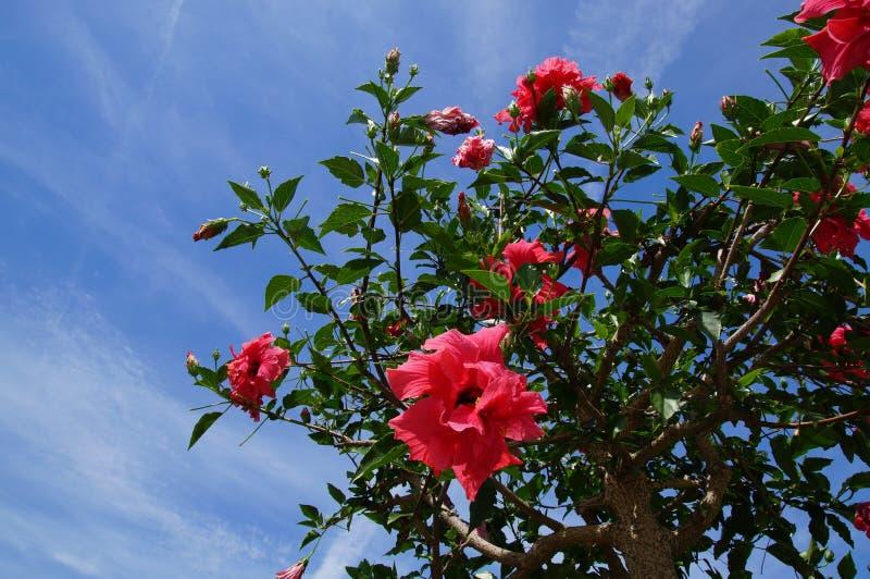 Hibiscus rosa sinensis fotografie stock