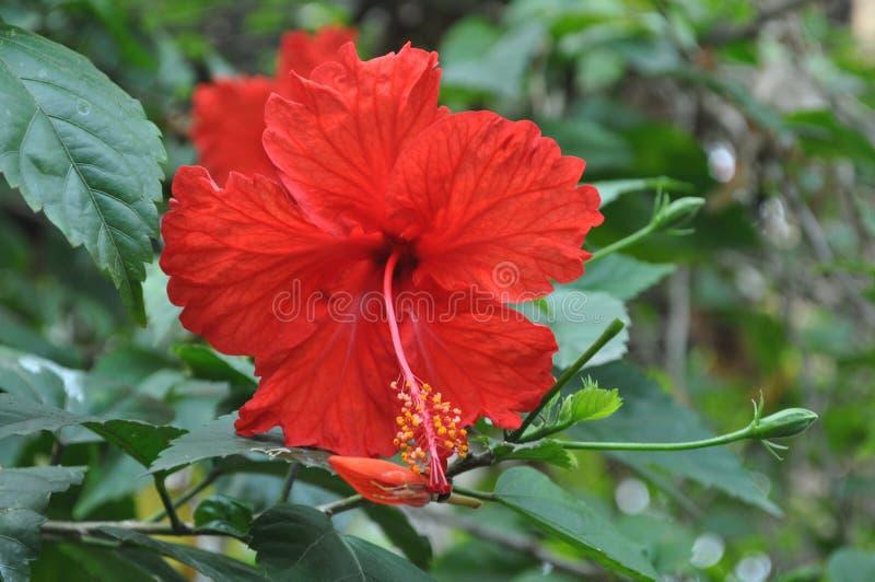 Hibiscus Rosa-sinensis stockbild