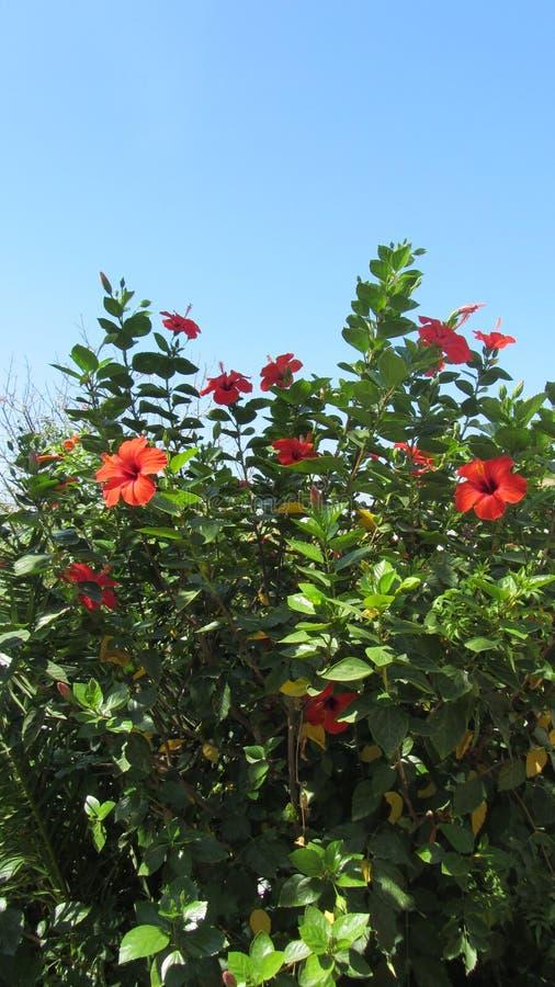Hibiscus rosa-sinensis royalty-vrije stock afbeelding