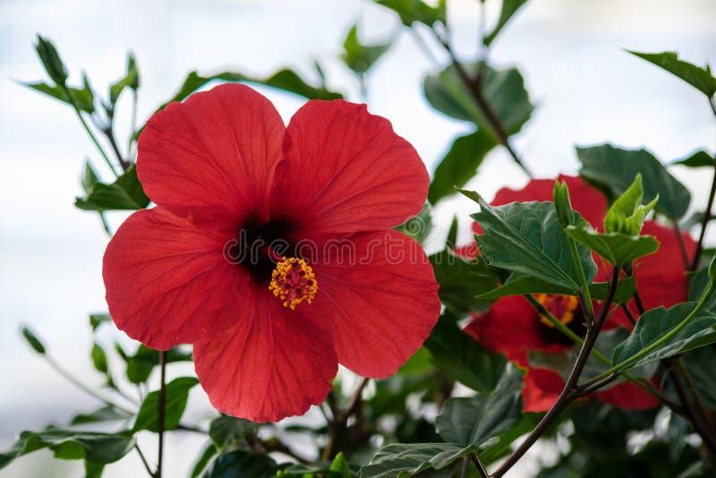 Hibiscus rosa-sinensis, hibiscus Chinese Chinees, nam, één grote rode bloem toe royalty-vrije stock foto