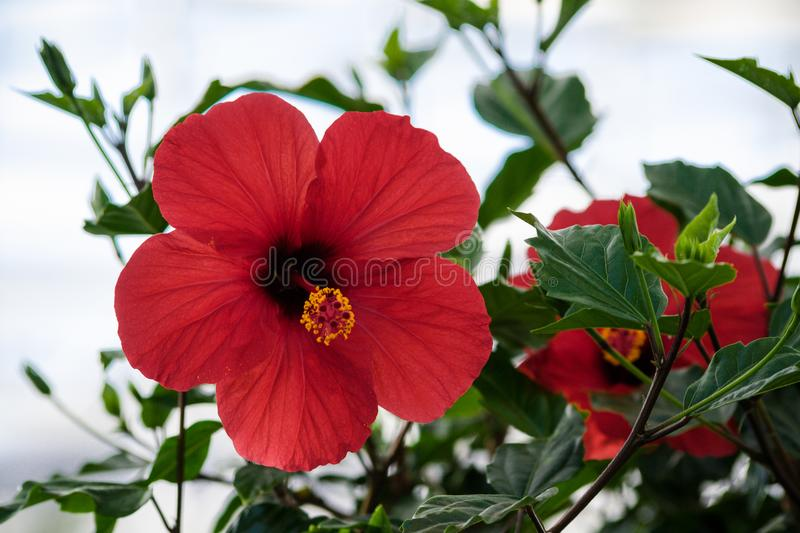 Hibiscus rosa-sinensis, hibiscus chinese, chinese rose, one big red flower royalty free stock photo