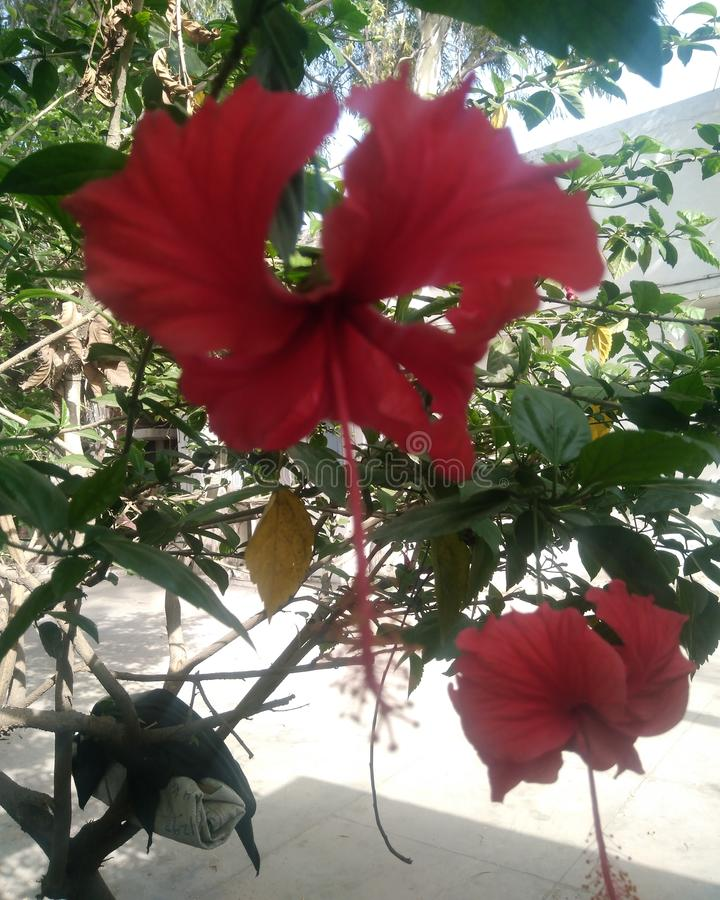 Hibiscus rosa-sinensis. vector illustration