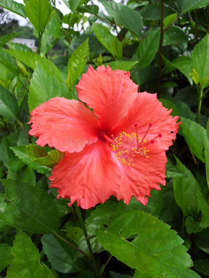 Hibiscus Rosa-sinensis L stockfoto