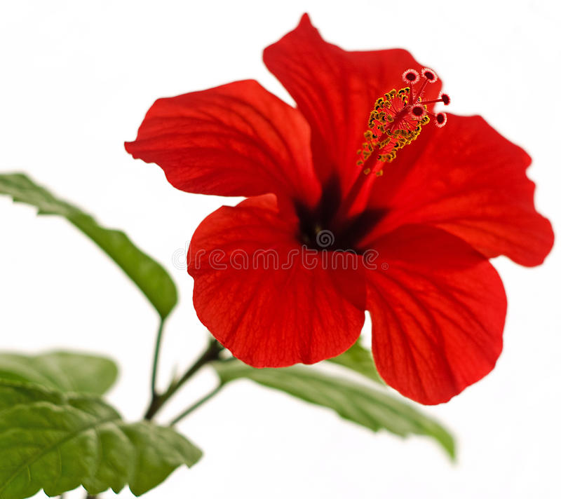 Free Hibiscus Rosa-sinensis L. Red Stock Image - 10363321