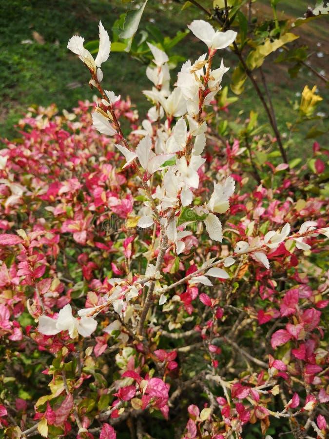 Hibiscus rosa sinensisor†‹shoe†‹flower†‹ royalty-vrije stock fotografie
