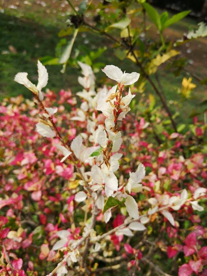 Hibiscus rosa sinensisor†‹shoe†‹flower†‹ royalty-vrije stock foto