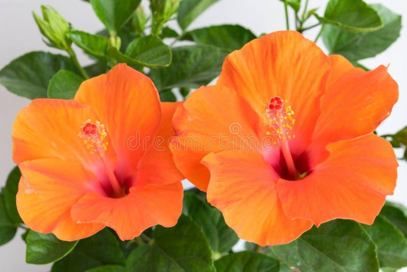 Hibiscus rosa-sinensis ou hibiscus ou China cor-de-rosa ou Hawa chinês imagem de stock royalty free