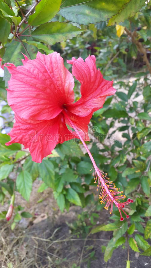 Hibiscus rosa-sinensis royalty free stock photo