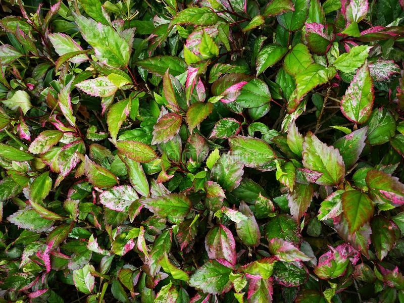 Hibiscus rosa sinensis tree†‹Garden†‹decoration†‹ stock fotografie