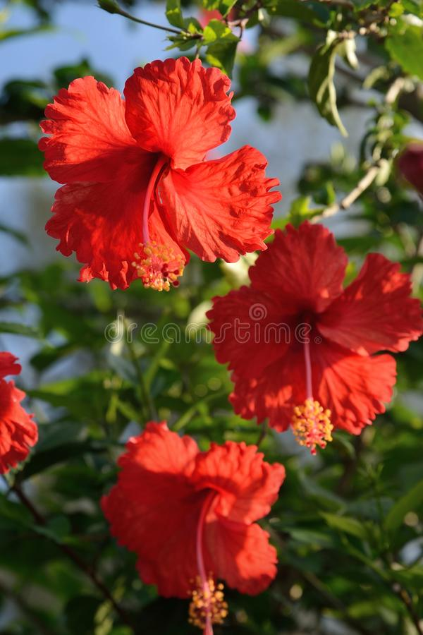 Hibiscus is the national flower of Malaysia. Hibiscus rosasinensis Hibiscus rosasinensis is a flowering plant throughout the year in the genus Hibiscus which is stock photography