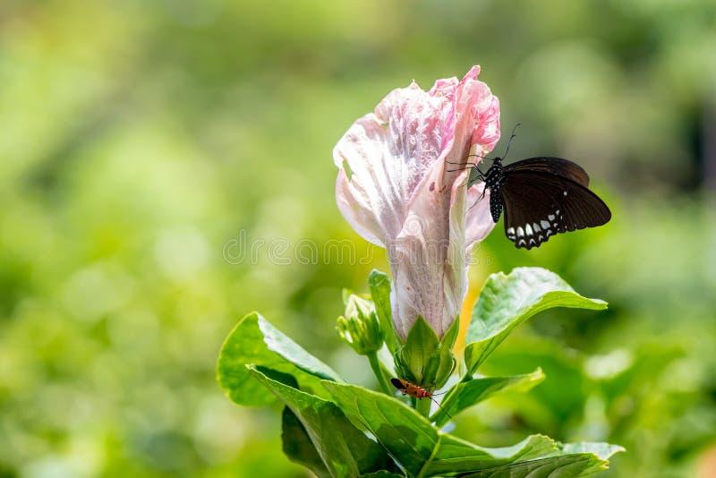 Hibiscus Rose Flower stock afbeelding