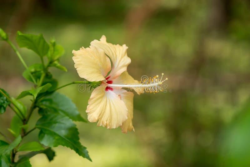 Hibiscus Rose Flower stock afbeeldingen