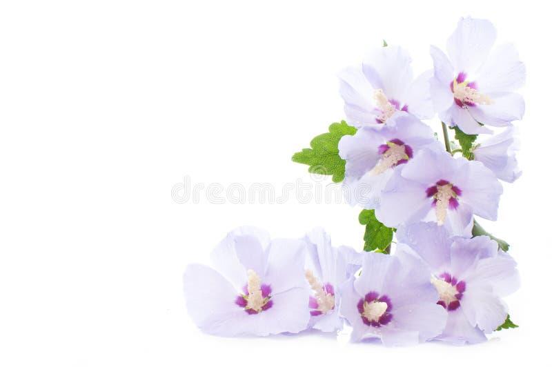Hibiscus roxo imagem de stock