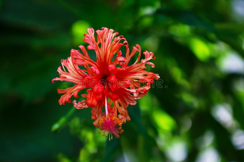 Hibiscus schizopetalus japanese lantern, fringed rosemallow, co. Ral hibiscus, spider hibiscus. Shallow depth of field royalty free stock photography