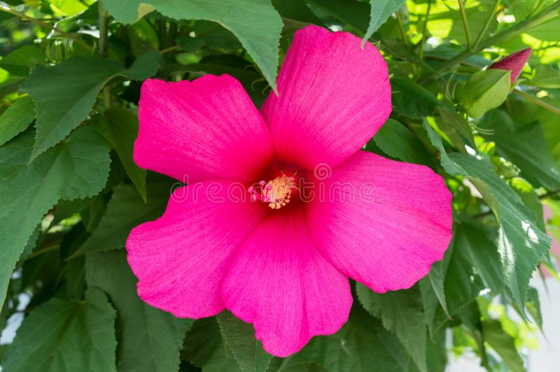 Hibiscus. Shrub with a large pink flower. royalty free stock images